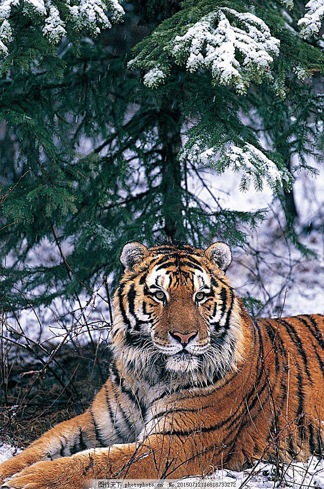 趴着的老虎 动物 野生动物 老虎 趴着 休息 雪地 陆地动物 生物世界