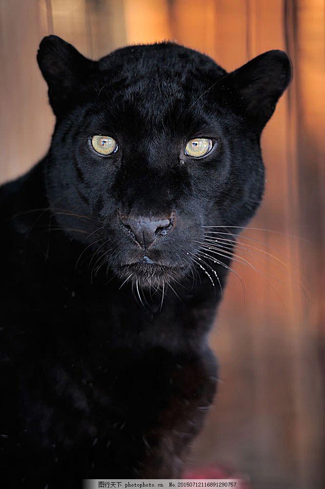 黑色豹子 动物 生物 野生动物 陆地动物 生物世界 图片素材