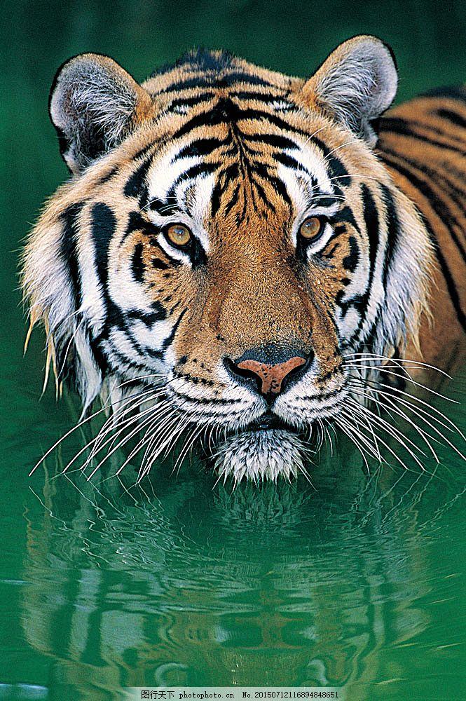 水里的老虎 野生动物 动物世界 哺乳动物 洗澡 清水 摄影图 陆地动物