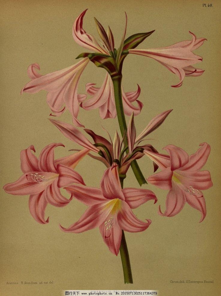 复古手绘粉色百合 郁金香 植物图 插画 百合花 风信子 兰花 水仙花