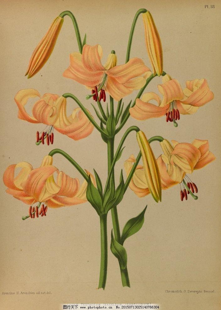 手绘设计 手绘花朵 花纹素材 生物世界 花草 redoute 设计 植物园