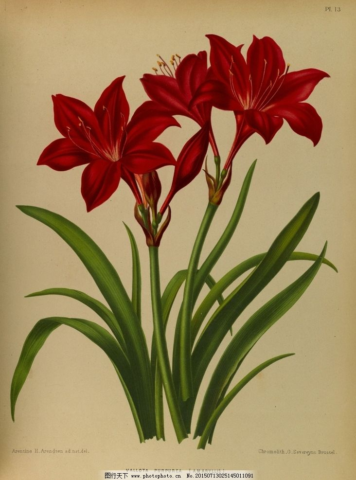 复古手绘红色百合花图片