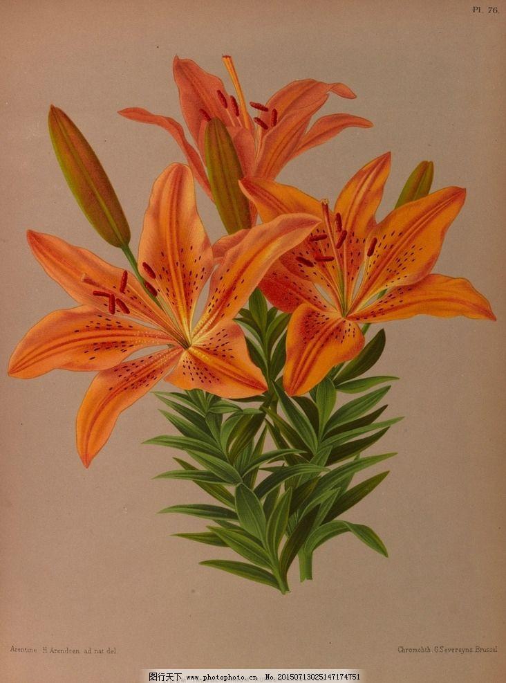 复古手绘橙色百合花 郁金香 植物图 插画 最美丽的花 玫瑰花 玫瑰圣经