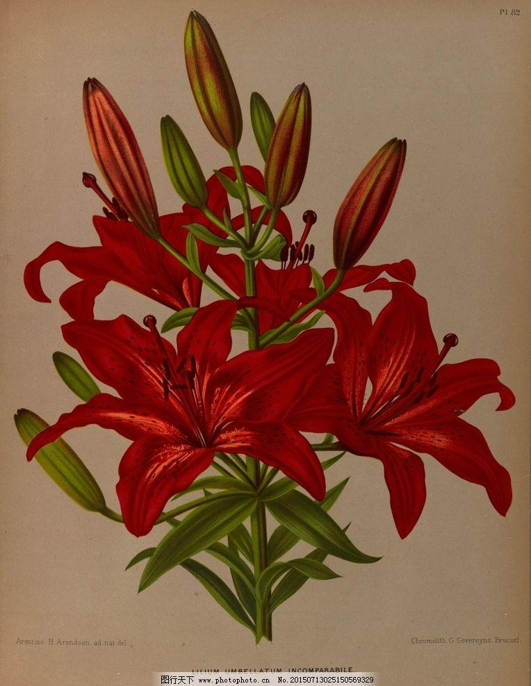 复古手绘红百合图片