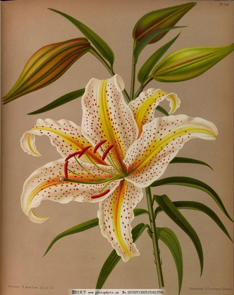 复古手绘百合花图片