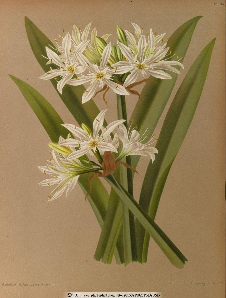 复古手绘 郁金香 植物图 插画 最美丽的花 玫瑰花 玫瑰圣经 手绘兰花