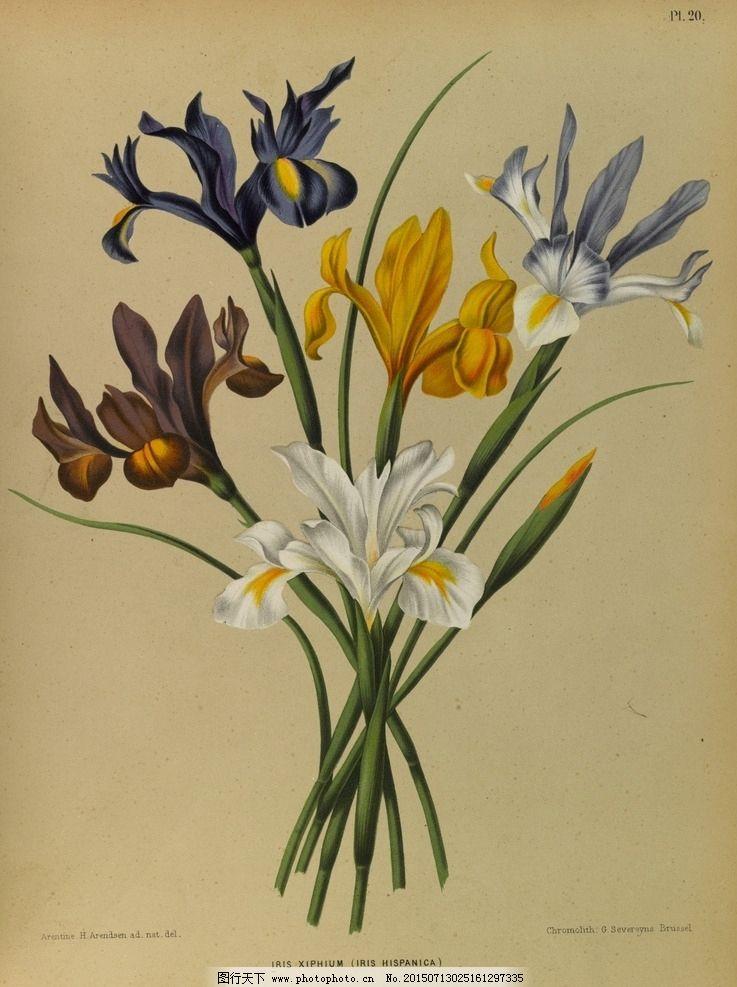 复古手绘 郁金香 植物图