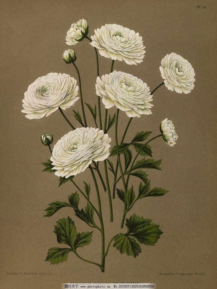 复古手绘白色毛茛花图片