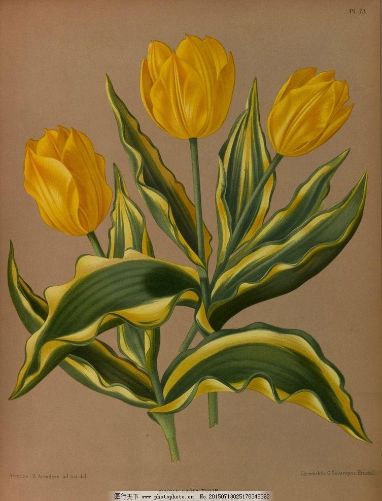 复古手绘黄色郁金香图片