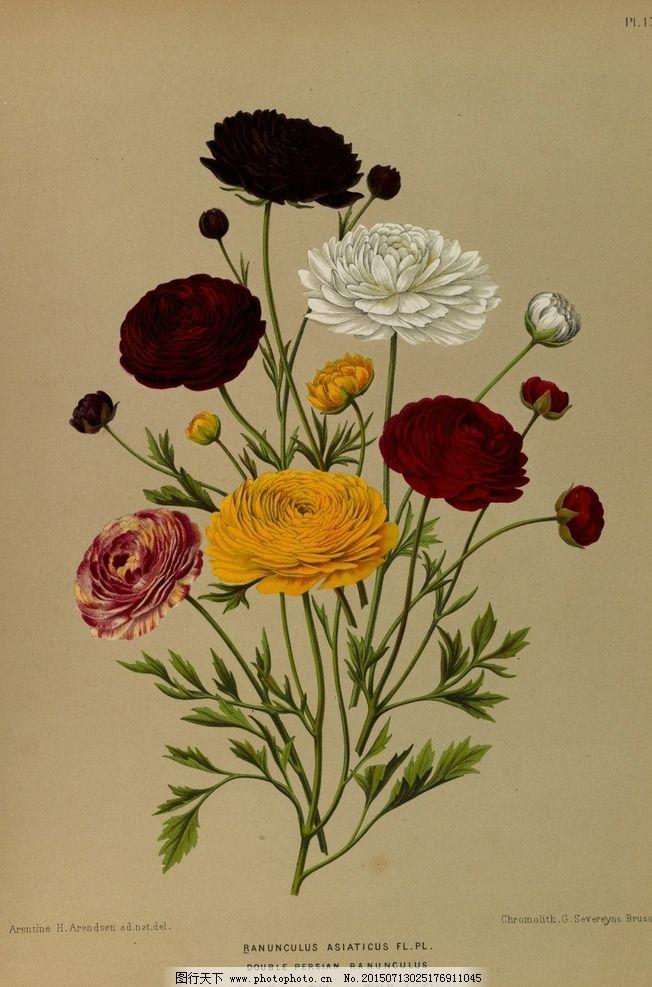 复古手绘一束毛茛花 郁金香 植物图 插画 百合花 风信子 兰花