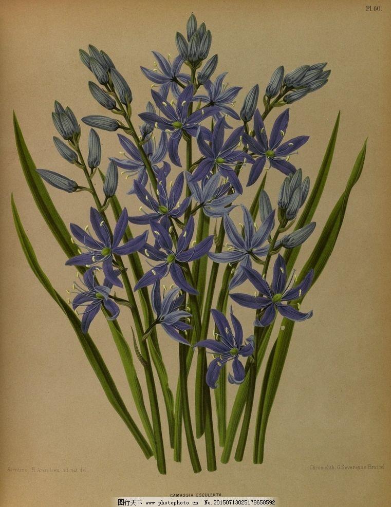 复古手绘蓝色玉米百合图片