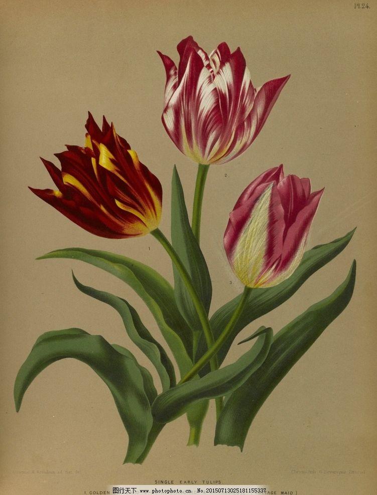 复古手绘 郁金香 植物图 插画图片