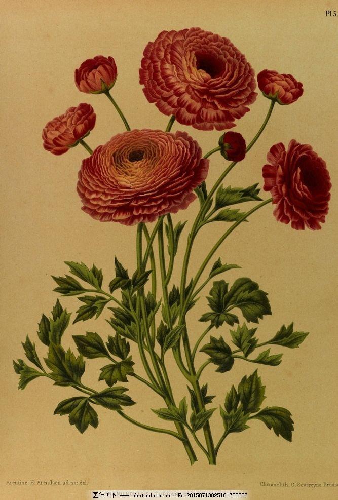 复古手绘毛茛花图片