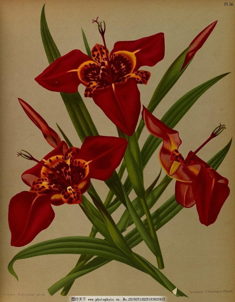 复古手绘红色鸢尾花图片