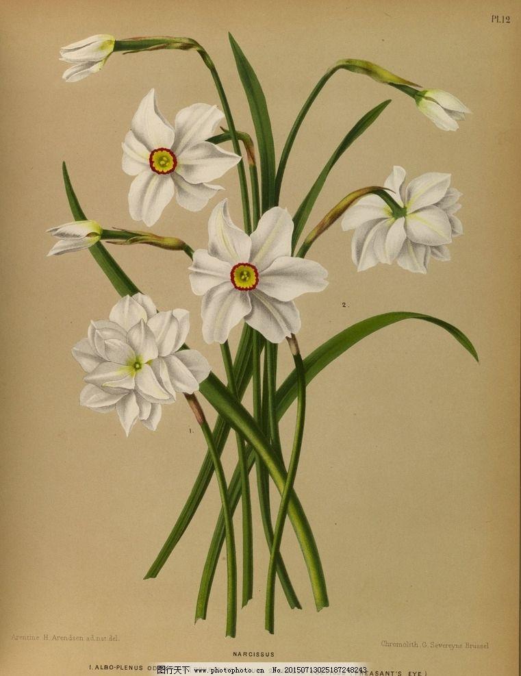复古手绘一束白色水仙 郁金香 植物图 插画 百合花 风信子 兰花