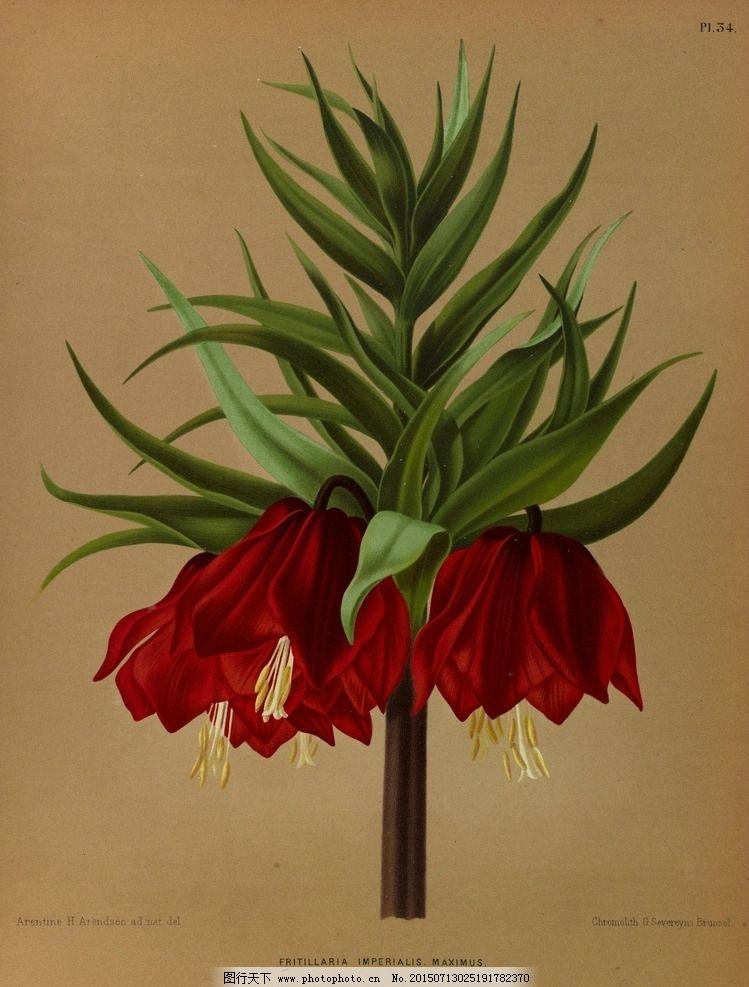 复古手绘红色帝王贝母图片,郁金香 植物图 插画 百合