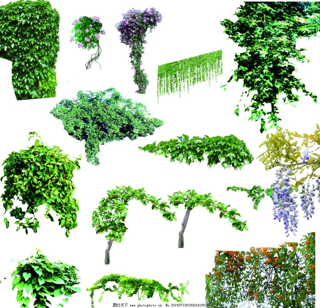 各类藤本植物图片