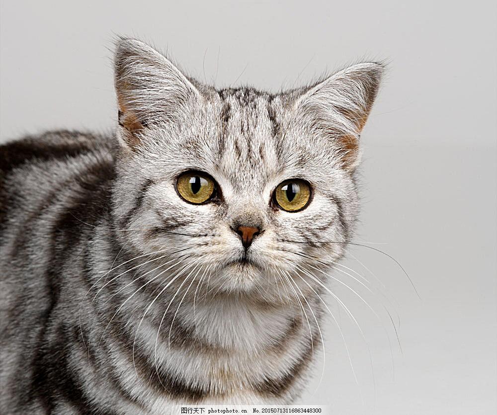 可爱小猫 猫咪 萌 宠物猫 动物世界 陆地动物 生物世界 图片素材