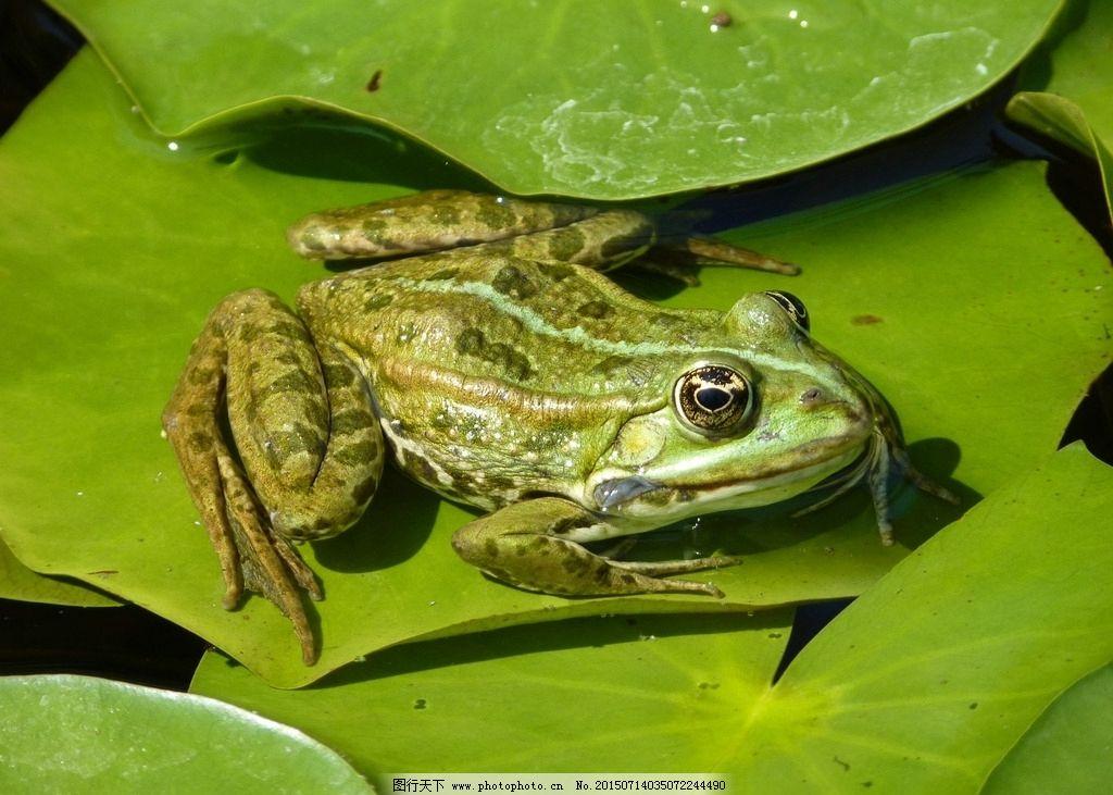 青蛙 绿青蛙 可爱青蛙 小青蛙 水塘多的青蛙 野生动物 荷叶 池塘