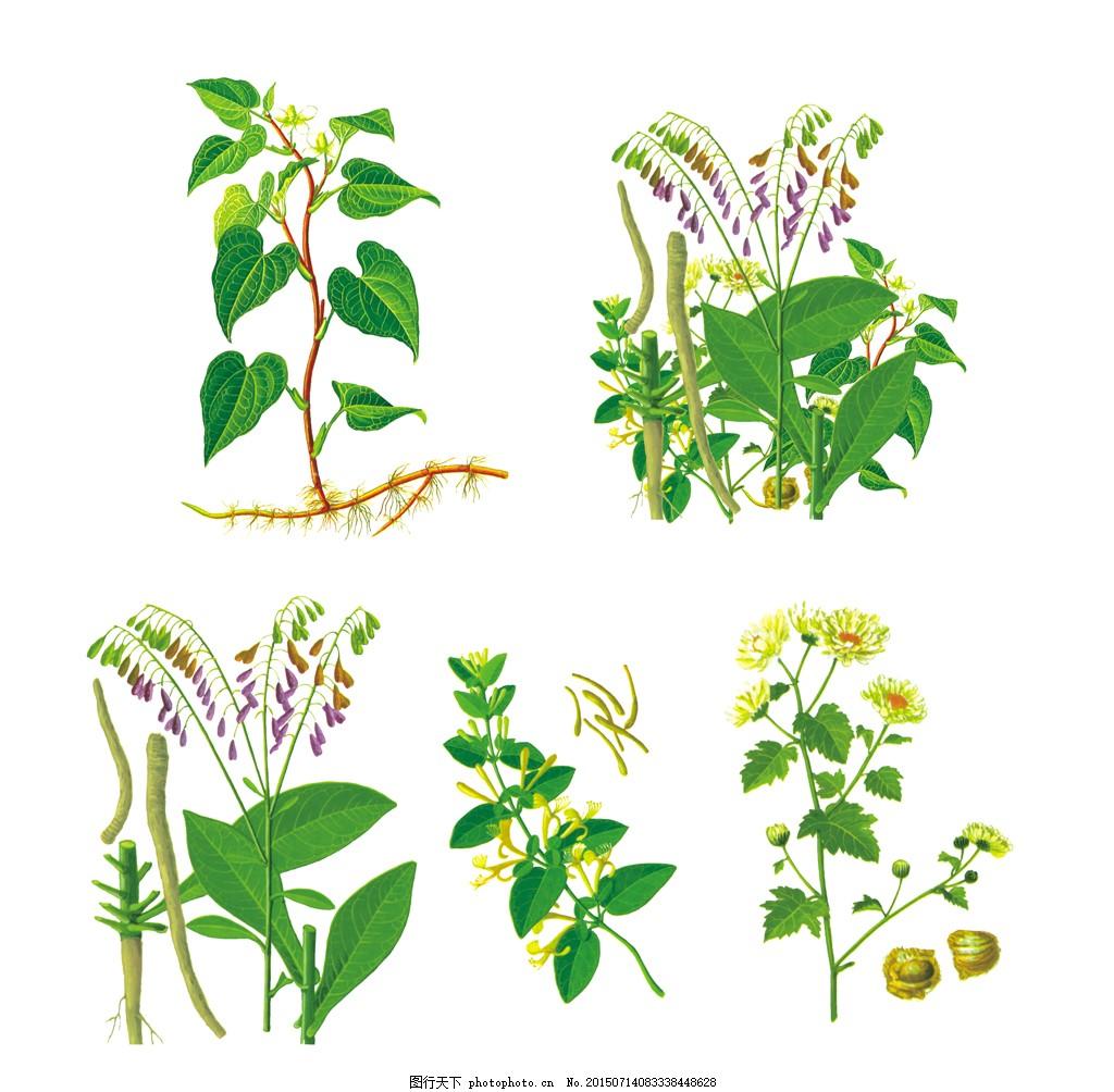 手绘中药材素材 植物素材 手绘 菊花 金银花 下火清热 植物 中药 psd
