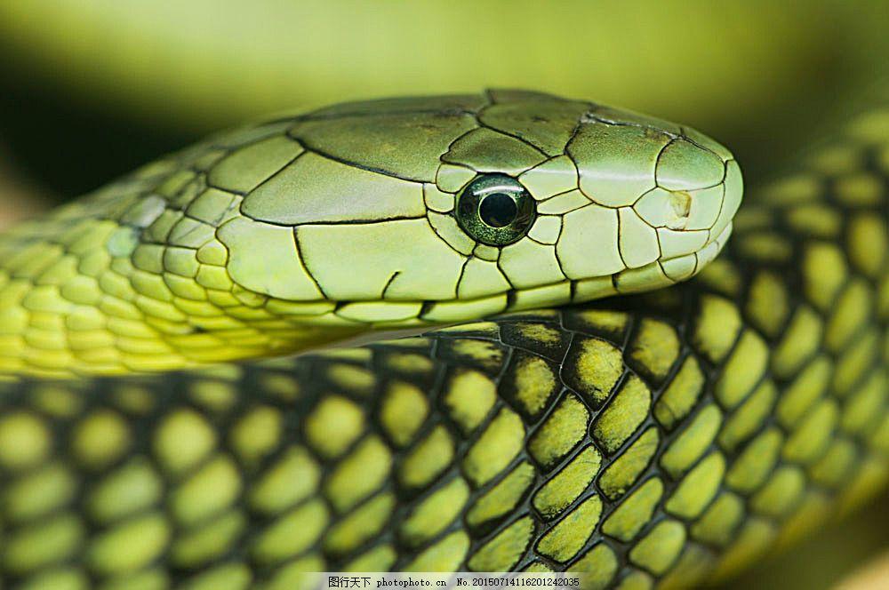 绿色蛇头特写 毒蛇 爬行动物 动物摄影 陆地动物 生物世界 图片素材