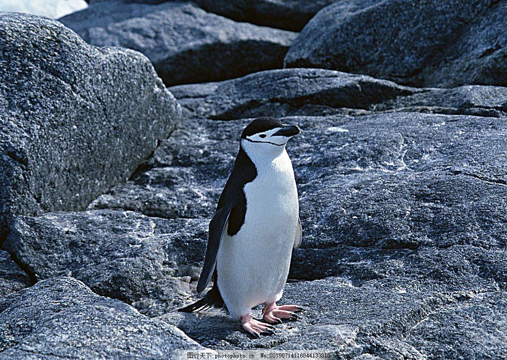 可爱企鹅 动物世界 生物世界 南极动物 水中生物 图片素材 黑色