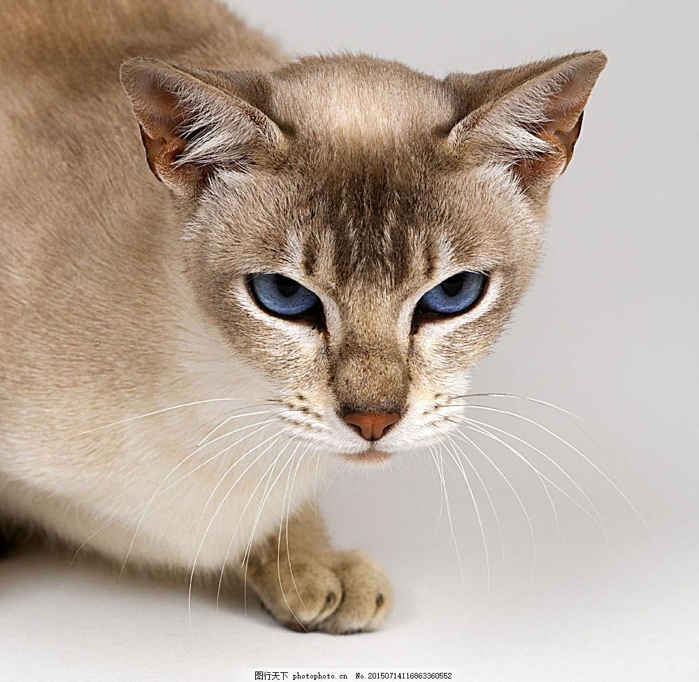 可爱猫咪 小猫 萌 宠物猫 动物世界 陆地动物 生物世界 图片素材
