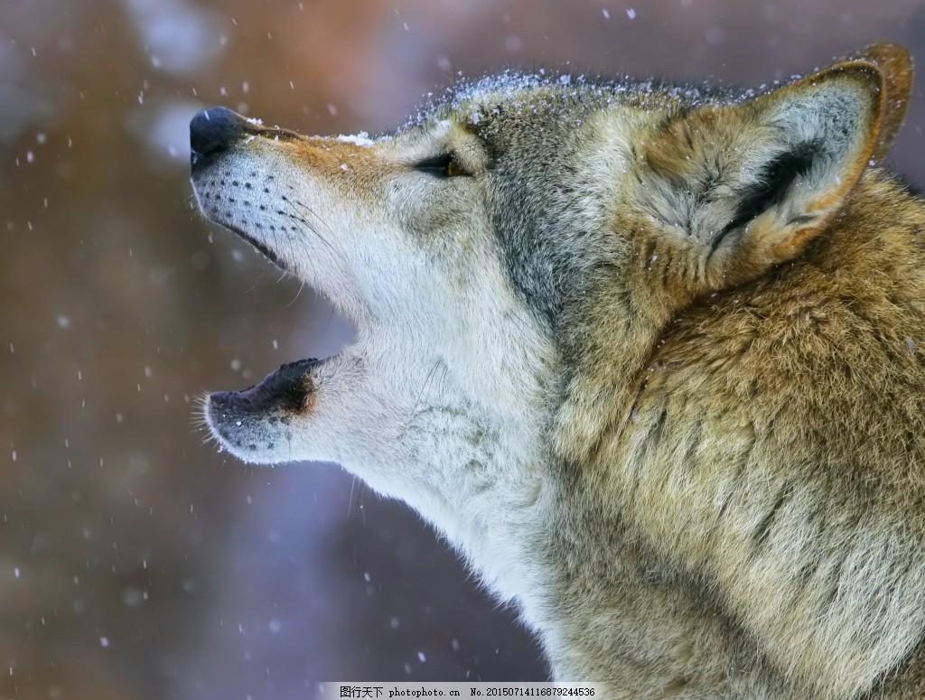冬天 狼特写 雪地 野狼 狼 野生动物 动物世界 动物摄影 陆地动物