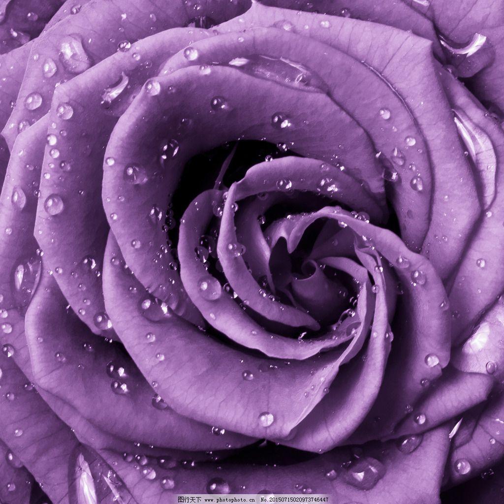 紫色玫瑰花桌面