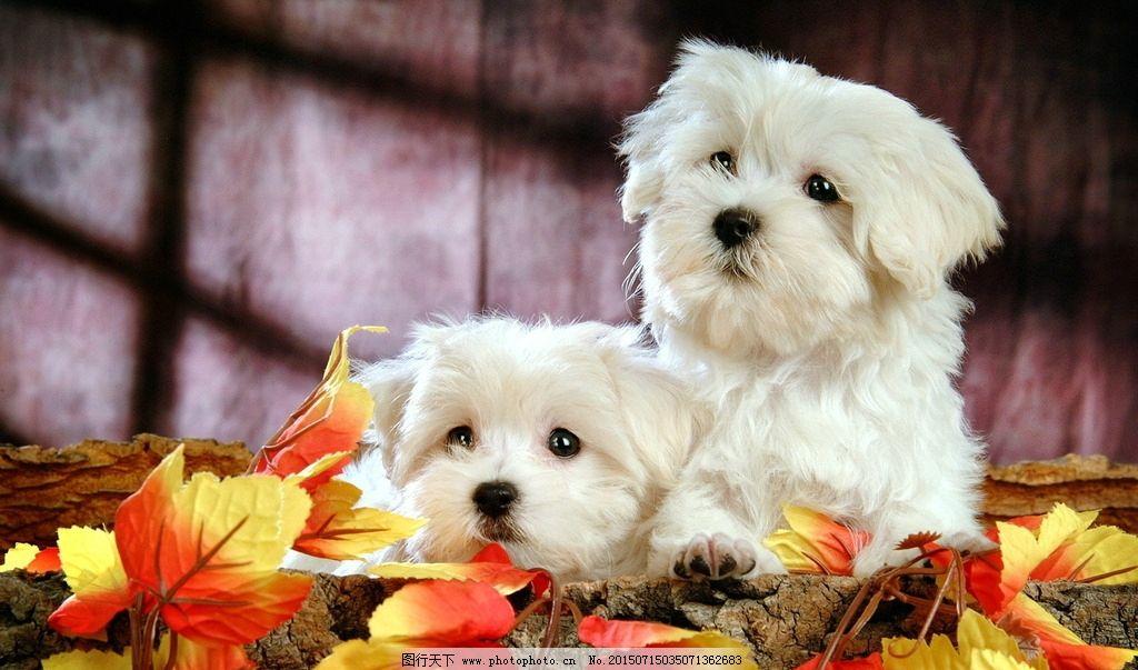 比熊犬 萌宠 宠物 可爱 小狗 狗狗 萌狗狗 小狗狗 可爱狗狗 白色狗狗