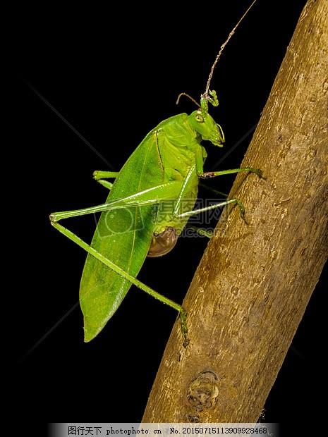 树枝上的蚱蜢 绿色动物 昆虫 虫子 树干 木棒 触角 翅膀 红色
