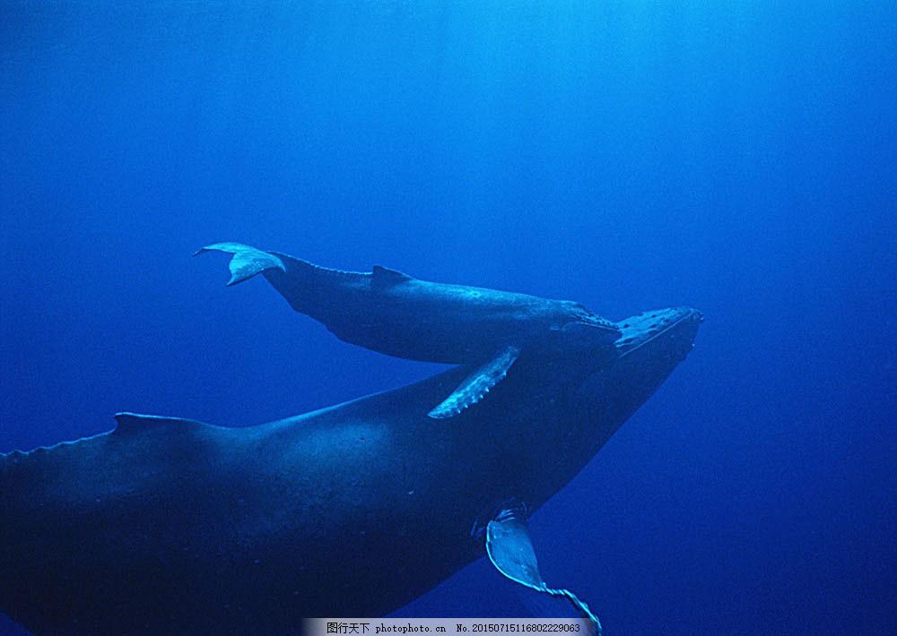 鲸鱼摄影 动物世界 生物世界 海底生物 海豚 鲸鱼 大海 水中生物 图