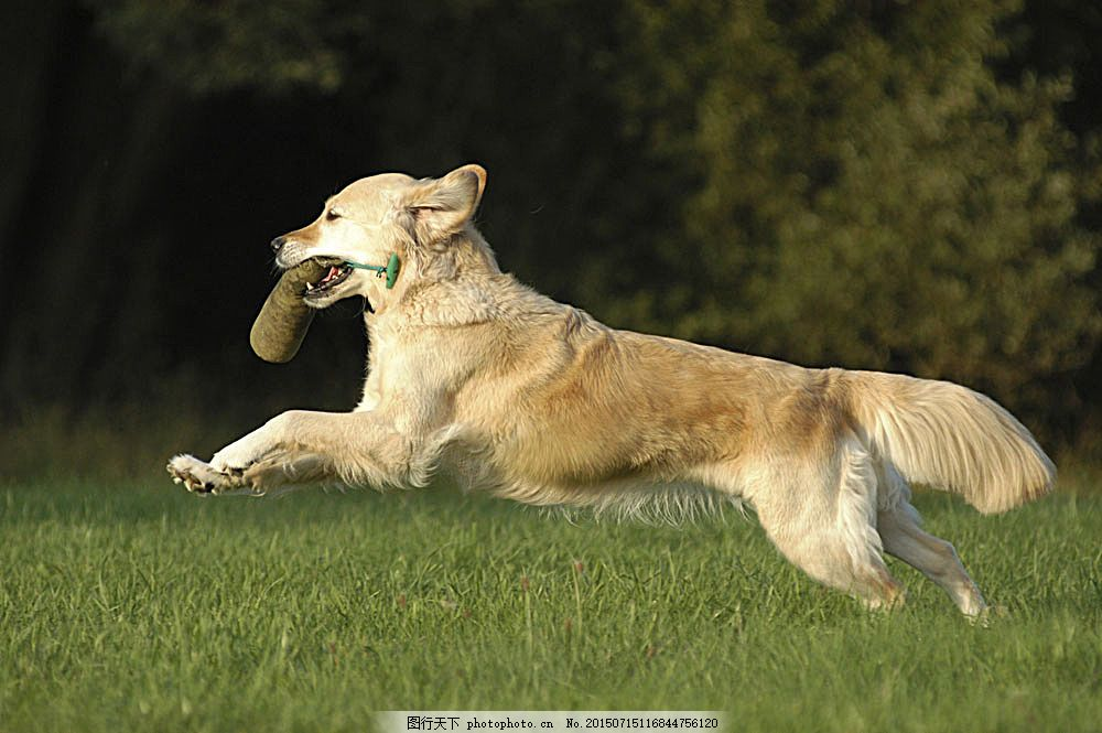 草地上奔跑的狗 小狗 犬 小狗图片 宠物狗 名贵犬种 宠物狗图片 可爱
