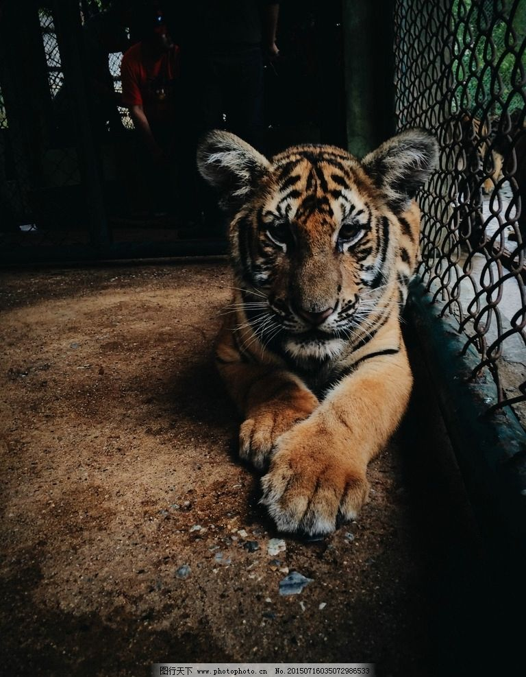 老虎特写 动物素材 动物园 摄影 生物世界 摄影 生物世界 野生动物 72