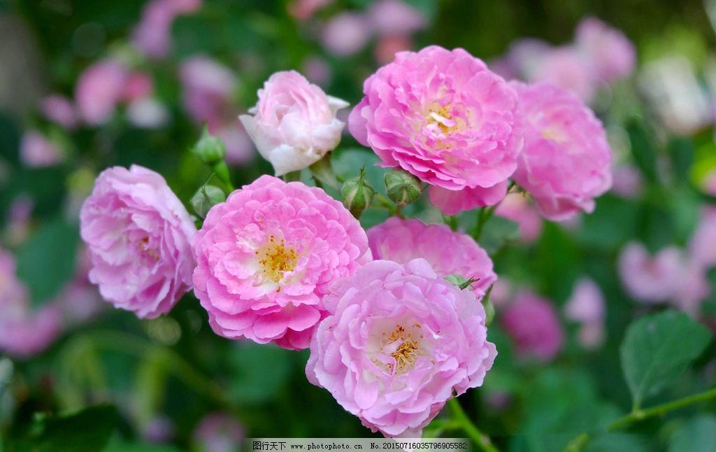 简单彩铅蔷薇花画法步骤
