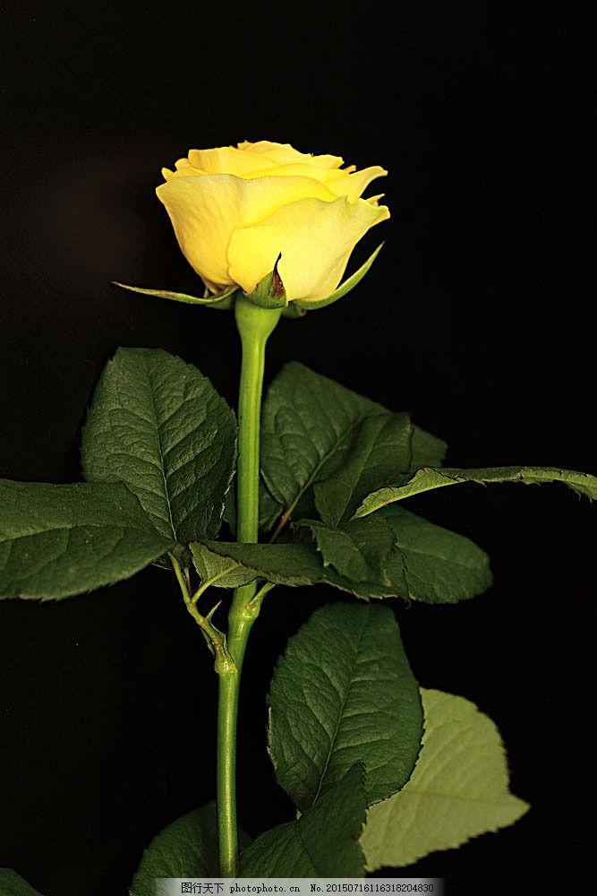 黄色玫瑰花 花瓣 植物花朵 美丽鲜花 漂亮花朵 花卉 鲜花摄影图片