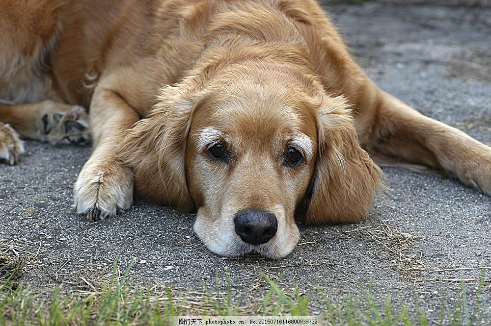 趴着的狗狗 宠物 可爱小狗 名贵 犬种 动物世界 宠物摄影 陆地动物