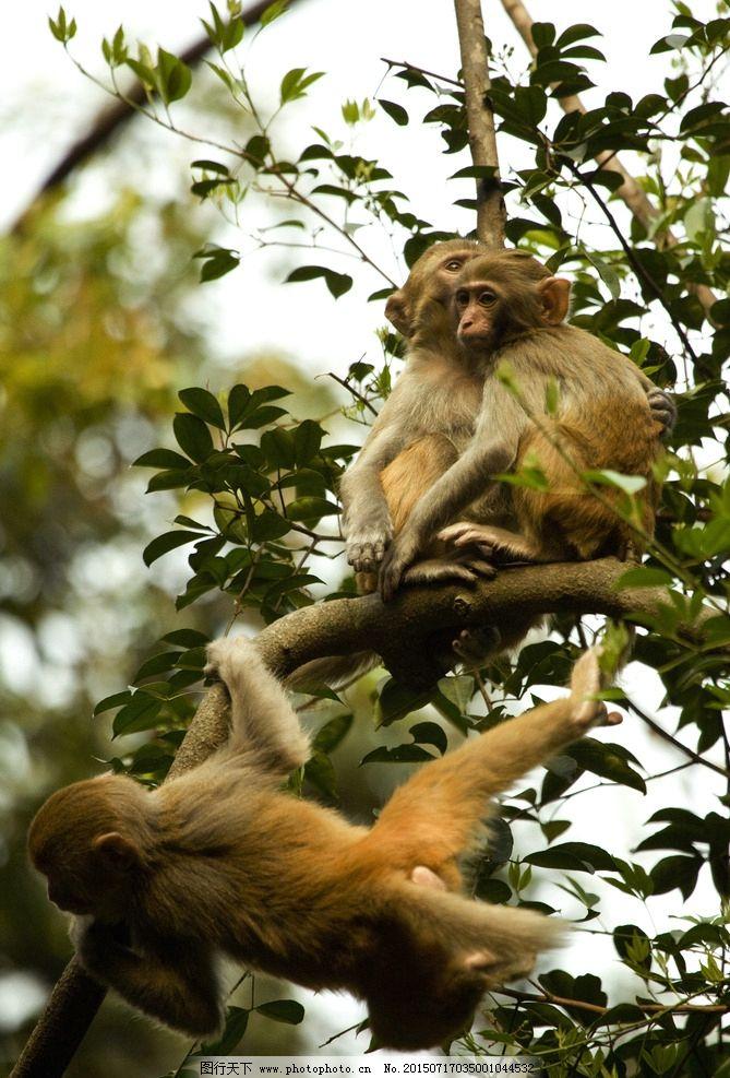 山里的动物 树叶 姑婆山的猕猴 姑婆山 摄影 摄影 生物世界 野生动物