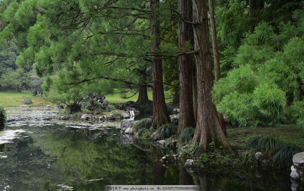 水边的水杉图片_树木树叶_生物世界_图行天下图库