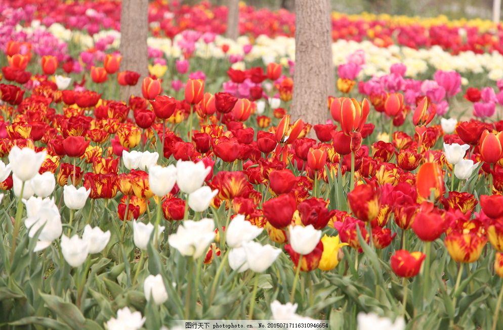 郁金香 高清 花海 红色郁金香 粉色 花儿草儿 摄影 生物世界
