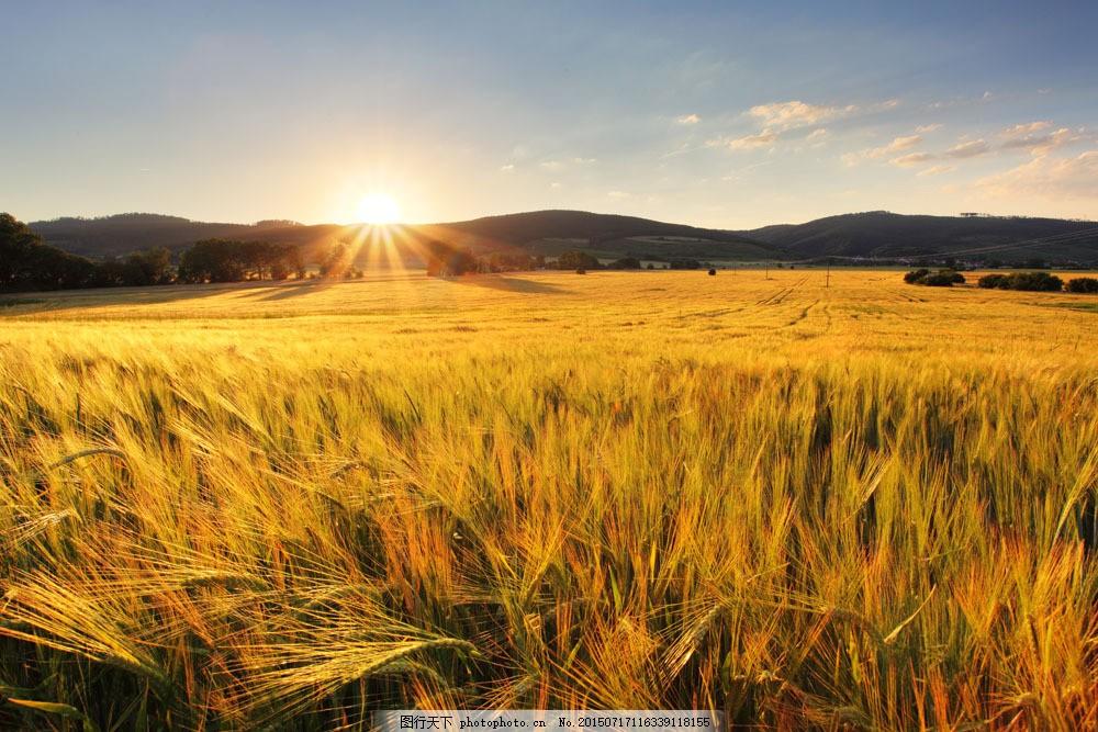 秋天麥田風景 秋天麥田風景圖片素材下載 麥穗 麥子 小麥 秋收