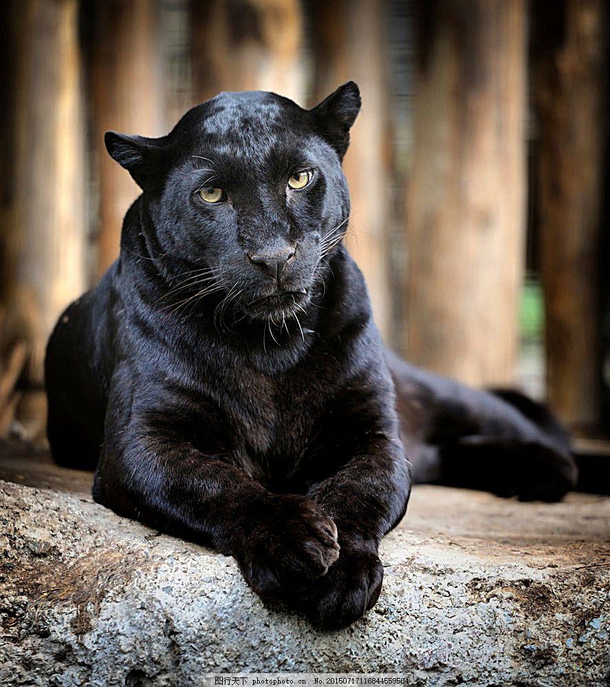 趴着的黑豹子 趴着 黑豹子 动物 生物 野生动物 陆地动物 生物世界