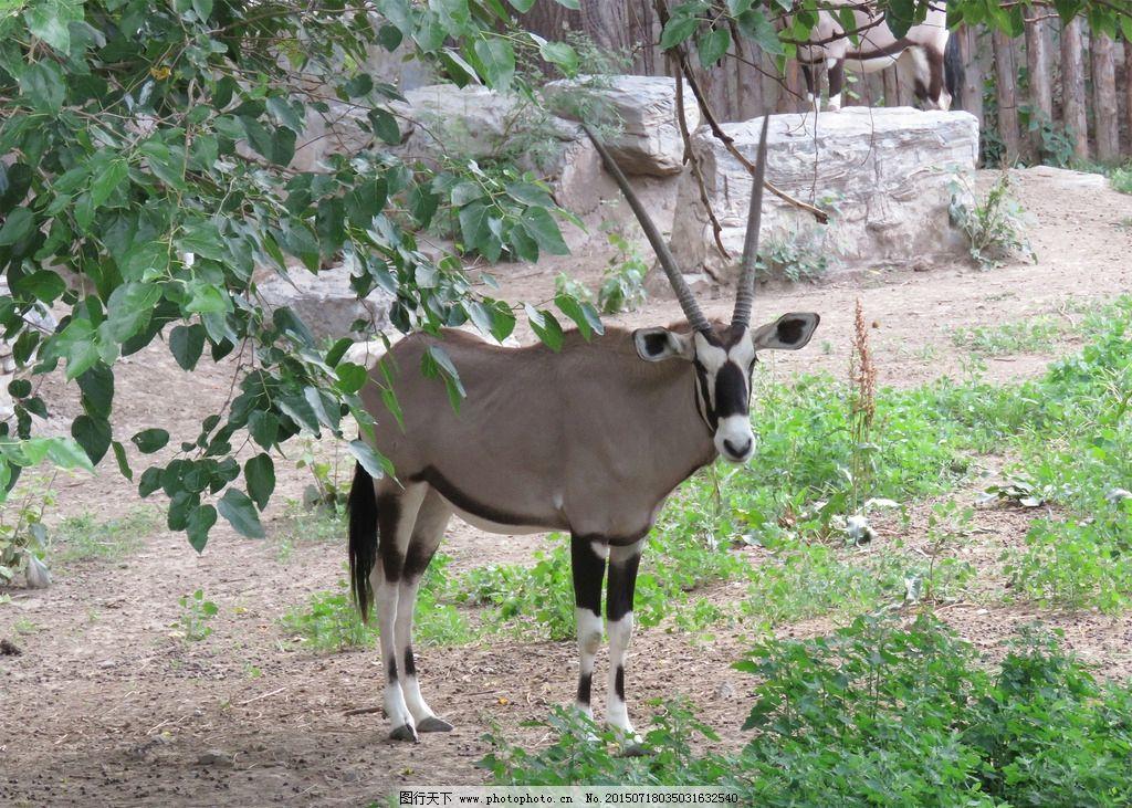 羚羊 公羚羊 野生动物 生物世界 摄影 高清动物图 动物园 羚羊拍摄