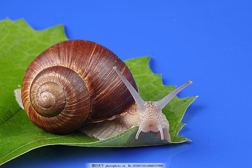 叶子上的蜗牛 摄影 动物 爬行 无脊椎动物 花纹 触角 贝壳 昆虫世界