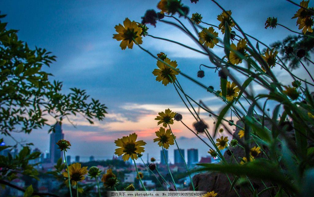 晚霞中的野菊花 信号山 青岛 夜景 风光 摄影