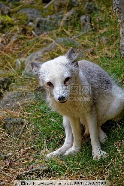 北极狐狸 福克斯 眼睛 动物 野生动物 捕食 动物园 黑色