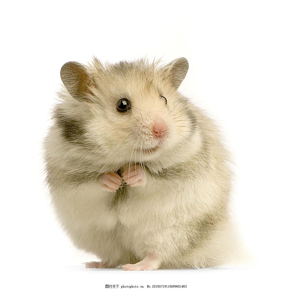 可爱小仓鼠 仓鼠 老鼠 可爱小动物 宠物 动物世界 陆地动物 生物世界