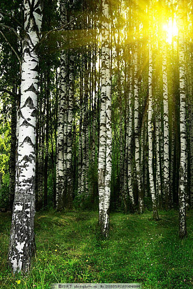 森林树木 森林 树木 原始森林 木材 阳光 树叶 白杨 草地 草坪 自然风
