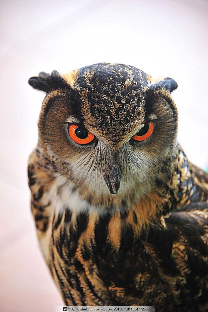 红色眼睛的猫头鹰