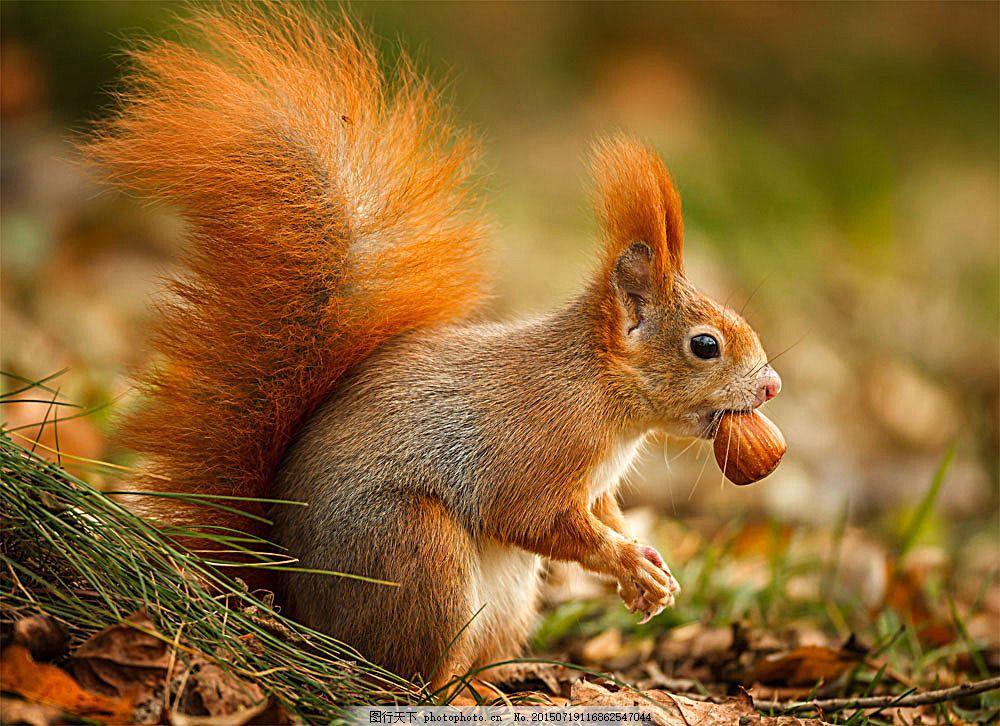 吃着食物的松鼠 动物 松果 野生动物 动物世界 动物摄影 陆地动物